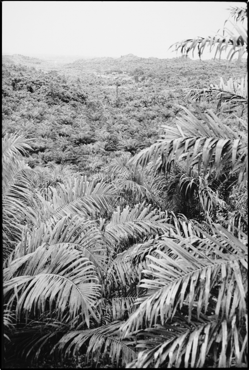 palm oil plantation with distant village